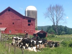 Alford Cows